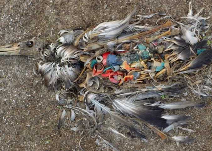 plastik-v-ptice